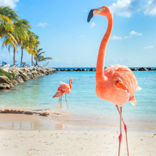 aruba beach flamingos